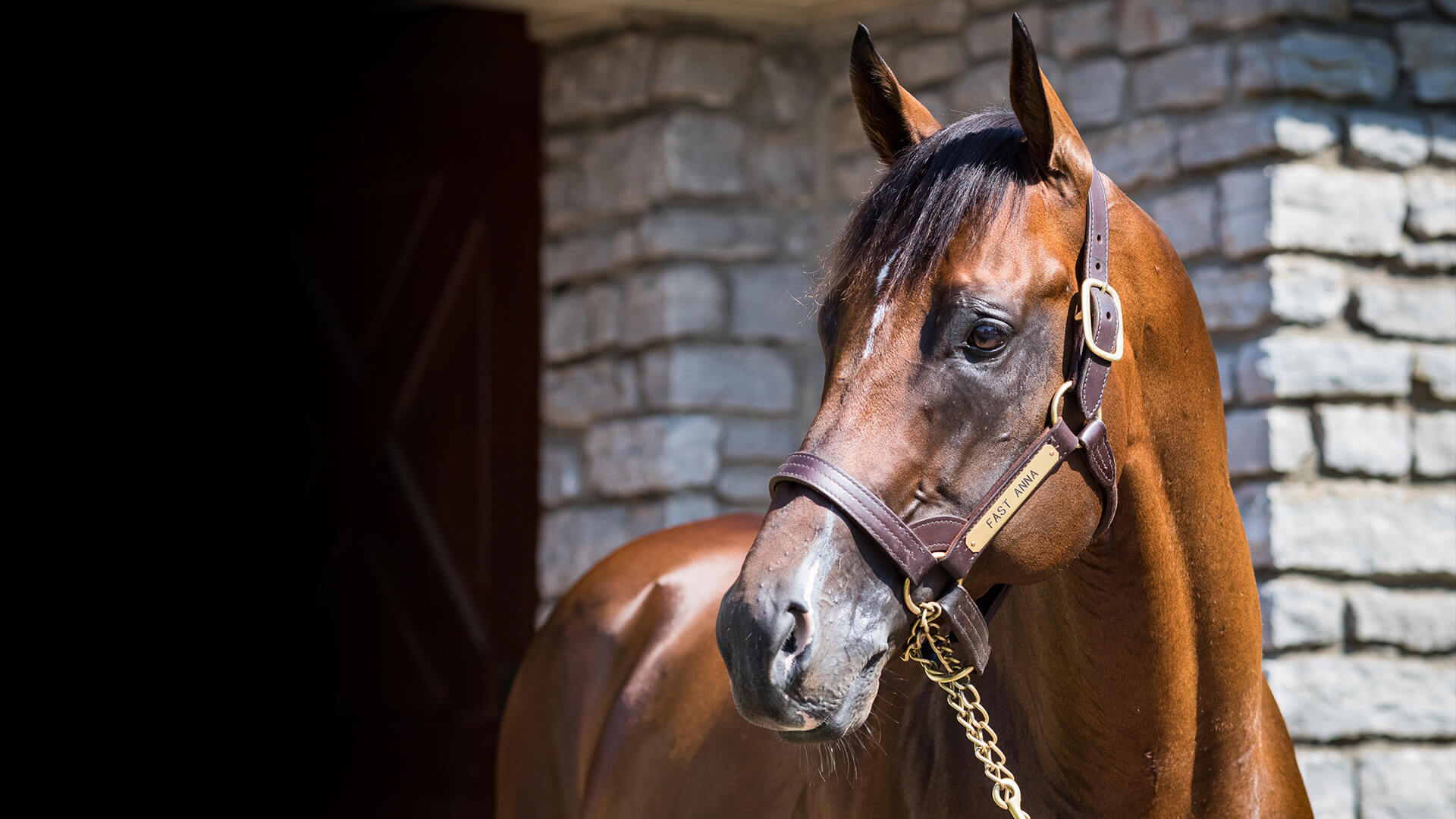 Fast Anna euthanized due to complications from laminitis